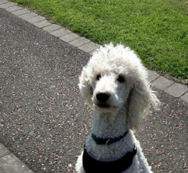 Proven Stunning Standard Poodle Available For Stud
