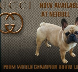 Pets  - New To Neibull Is Gucci Available For Stud