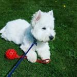 Stud West Highland Terrier