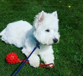 Stud West Highland Terrier