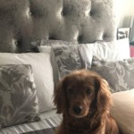 Stunning Red Cockapoo Puppies 3 Girls Left