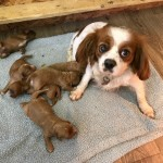 Dark Red Cavapoo Puppies For Sale
