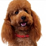 Fox Red Mini Poodle Stud. Extensive Health Tests