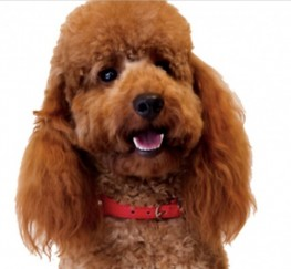 Pets  - Fox Red Mini Poodle Stud. Extensive Health Tests