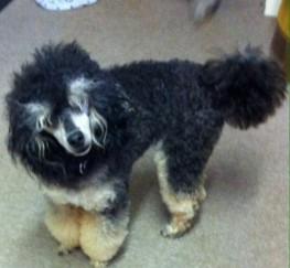 Pets  - Kc Mini Phantom Poodle Stud Pra Clear