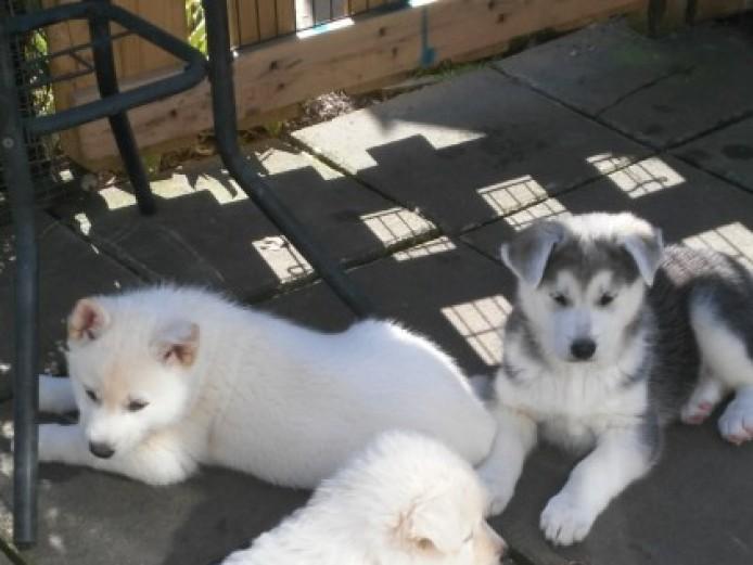 Husky.malamute X White Gsd