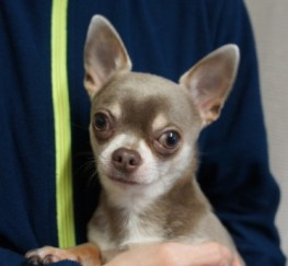 Pets  - Stud Lilac Chihuahua Kc Registered 3.2lb