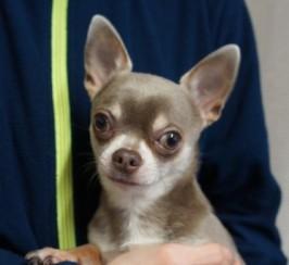 Stud Lilac Chihuahua Kc Registered 3.2lb