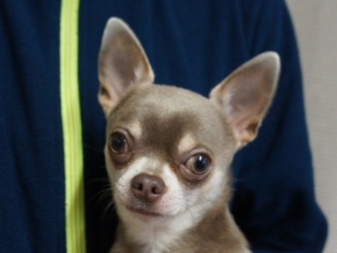 Stud Lilac Chihuahua Kc Registered 3.2lb