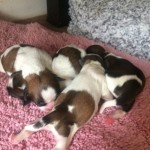 4 Beautiful Shih Tzu Puppies All Girls 4