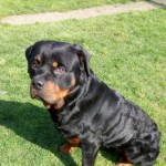 Unique Genes Rottweiler For Stud.