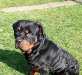 Unique Genes Rottweiler For Stud.