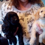 F1 Vet Checked Cockapoo Puppies