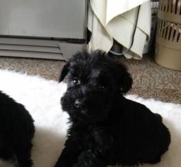 Pets  - Black Miniature Schnauzer Stud