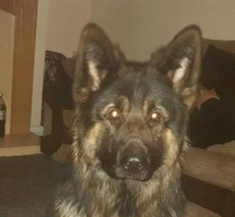 Pets  - German Shepherd Big Boned Long Haired Boy Stud