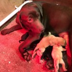Kennel Club Registered Labrador Puppies