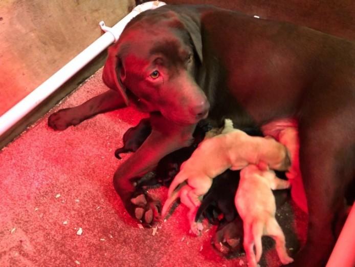 Kennel Club Registered Labrador Puppies