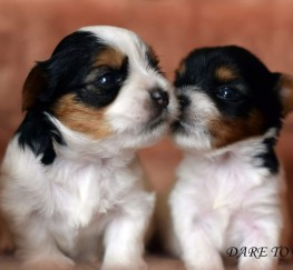 Pets  - Biewer Terrier