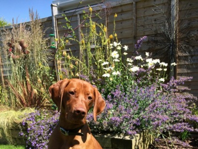 Kc Reg Proven Hungarian Vizsla For Stud