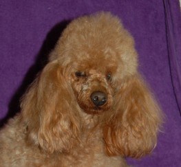 Pets  - Red Toy Poodle Available For Stud  P R A Clear