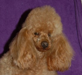 Red Toy Poodle Available For Stud  P R A Clear