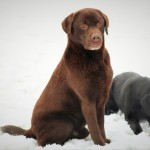 Stunning Chocolate Traditional Labrador Stud