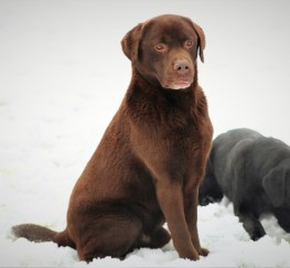 Pets  - Stunning Chocolate Traditional Labrador Stud
