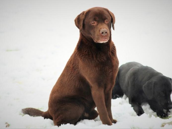Stunning Chocolate Traditional Labrador Stud