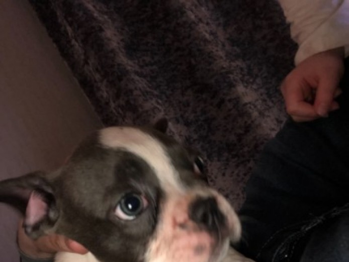 Blue Pied French Bulldog Male