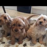 F1 Cockapoo Puppys 1 Female Left Had 1.2 Vaccine