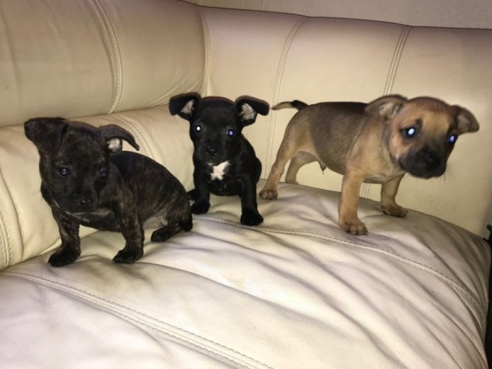 Staffy X Frenchi Pups Ready To Go