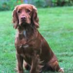 Proven Stunning Kc Reg Pra Fn . Ams Clear Stud Dog