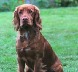 Pets  - Proven Stunning Kc Reg Pra Fn . Ams Clear Stud Dog