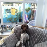 Proven Male German Short Haired Pointer For Stud