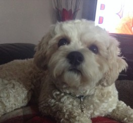Pets  - Cavachon For Stud