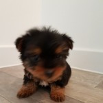 Yorkshire Terrier Full Pedigree