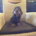 Wire Hair Standard Dachshund Kc Reg