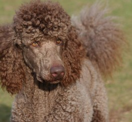 Pets  - Kc Health Tested Cafe Au Lait Standard Poodle Stud