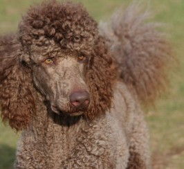 Kc Health Tested Cafe Au Lait Standard Poodle Stud