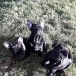 2 Solid Black And 1 Brindle Frenchies. Carry Blue