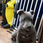 Blue Staffordshire Bull Terrier Male Pups