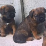Border Terrier Dogs At Stud
