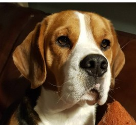 Five Generation Brydea Pedigree Beagle