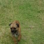 Border Terrier At Stud