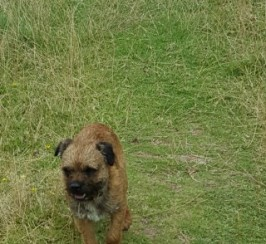 Border Terrier At Stud