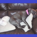 Blue Staffordshire Bull Terrier Pups Kc Registered