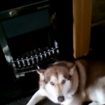 14 Weeks Old Red Alaskan Malamute Puppy For Sale