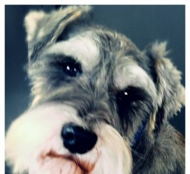 Super Miniature Schnauzer At Stud
