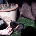 3 Boys And 5 Girls Chihuahua Pups For Sale