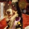 Pets  - Border Collie For Stud Service